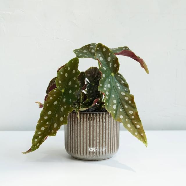 【CNFlower 西恩】星點海棠 咖啡色條紋花器(送禮/植栽/植物/觀葉植物)