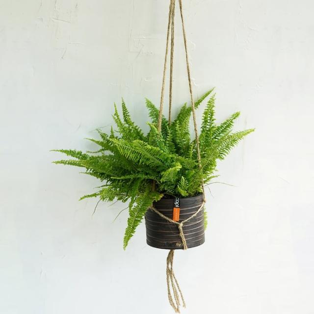 【CNFlower 西恩】腎蕨 咖啡條紋吊盆小加吊繩(送禮/植栽/植物/觀葉植物)